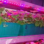 Светодиодные ленты для роста растений